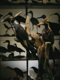 Specimens of Now Extinct Ivory-Billed Woodpeckers Stand in a Museum