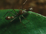 Close View of a Jumping Spider  Myrmarachne Sp