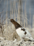A Willow Ptarmigan Near a Clump of Tall Grasses