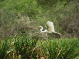 A Great Egret  Casmerodius Albus  Flying over Tall Grasses