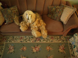 An Afghan Hound Lies on a Sofa