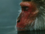 A Japanese Macaque (Macaca Fuscata)  or Snow Monkey  Enjoys a Swim