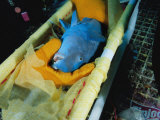 A Sedated Parrotfish Lies in a Stretcher to Receive a Transmitter