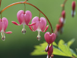 Spring Flowers  Dutchmans Breeches (Bleeding Hearts) Mid-May