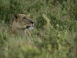 Profile Portrait of an African Lioness in a Grassy Landscape