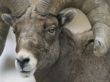 A Close View of a Male Bighorn Sheep
