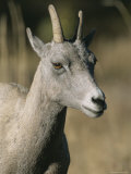 A Close View of a Bighorn Sheep Ewe  Ovis Canadensis