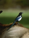 A Magpie Sits on the Back of an Elk