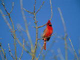 A Male Cardinal Sings in a Suburban Omaha Tree