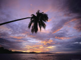 Overhanging Palm Tree is Silhouetted by a Sunset Sky