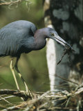 Little Blue Heron (Egretta Caerulea)  with Frog  Corkscrew Swamp  Fl