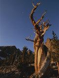 Bristlecone Pines  Near Wheeler Peak  Great Basin National Park