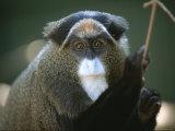 A Portrait of a Debrazzas Monkey