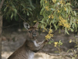 Gray Kangaroo Feeding on Wattle Flowers
