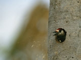 A Woodpecker Spits out Woodchips as it Makes a Nest in a Tree Trunk