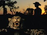 A Jaguar Pelt Taken by a Local Cattle Rancher