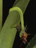 A Green Grappler Moth Caterpillar Captures a Termite
