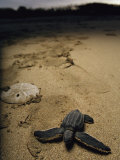 Baby Leatherback Turtle on Beach Near Sand Dollar
