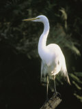 A White Egret Perches on a Tree Stump