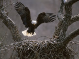 An American Bald Eagle Flies to its Nest