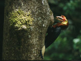 A Male Waldens Hornbill Delivers Food to its Nest