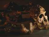 A Two-Million-Year-Old Fossil of Australopithecus Robustus