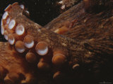 Close View of Octopus Tentacles with Suction Cups