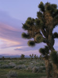 A Joshua Tree against the Twilight Sky