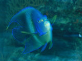 A Graceful Angelfish Swims in the Tropical Waters of Fiji