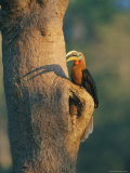 A Rufous-Necked Hornbill  Aceros Nipalensis  Perches Outside its Nest