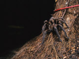 A Tarantula Sits on a Tree Trunk Near a Climbers Rope