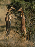 Two Gerenuks Stand on Their Hind Legs to Feed from the Top of a Bush
