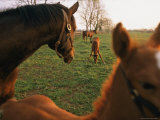 Thoroughbred Mares and Foals in Pasture