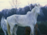 A Ghostly View of a Pair of White Horses