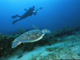 A Diver Swims Along Side an Endangered Hawksbill Turtle