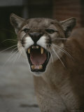 Close View of a Snarling Male Puma