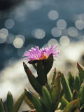 A Purple Wildflower Blooms against a Backdrop of the Pacific