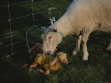 Sheep with Two Newborn Lambs