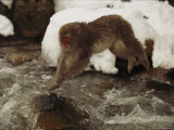 A Japanese Macaque  Macaca Fuscata  Leaps over an Icy Stream