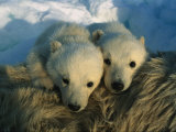 A Pair of Young Polar Bear Cubs