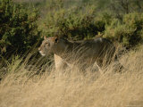 An African Lioness in a Landscape of Dry Grass and Shrubs