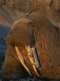 A Walrus Tagged with a Satellite Transmitter and Vhf Transmitter