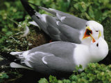 Close View of a Pair of Red-Legged Kittiwakes on a Coastal Cliff