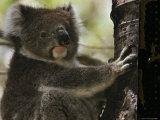 A Koala Bear Clinging to a Tree Trunk