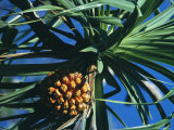 Hawaiian Pandanus with Fruit