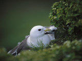 A Red-Legged Kittiwake and Her Chick Shelter on a Rocky Cliffside