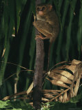 A Tarsier Clinging to a Tree Branch