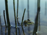 A Bullfrog Peering up from Just under the Waters Surface