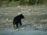 A Black Bear Walks Along the Shoreline of the Mackenzie River