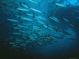 A School of Barracuda and Another Smaller Fish in a Blue Sea